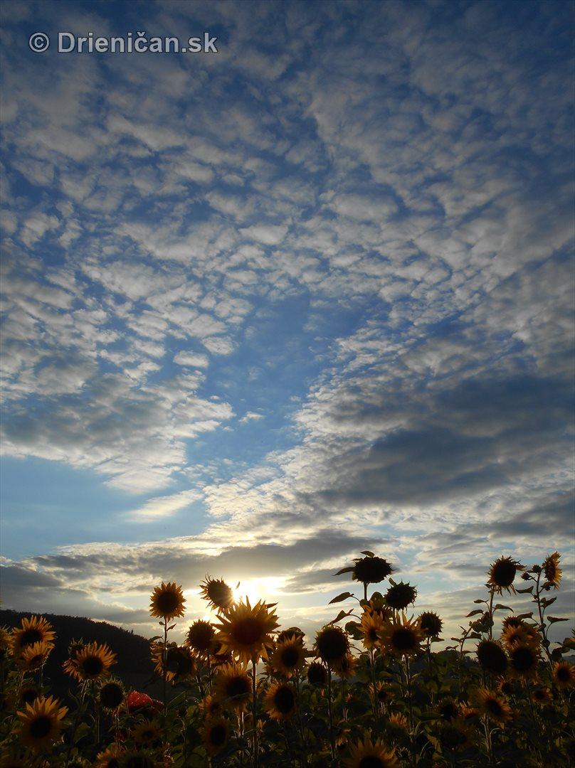 slnecnice pri zapade slnka_17