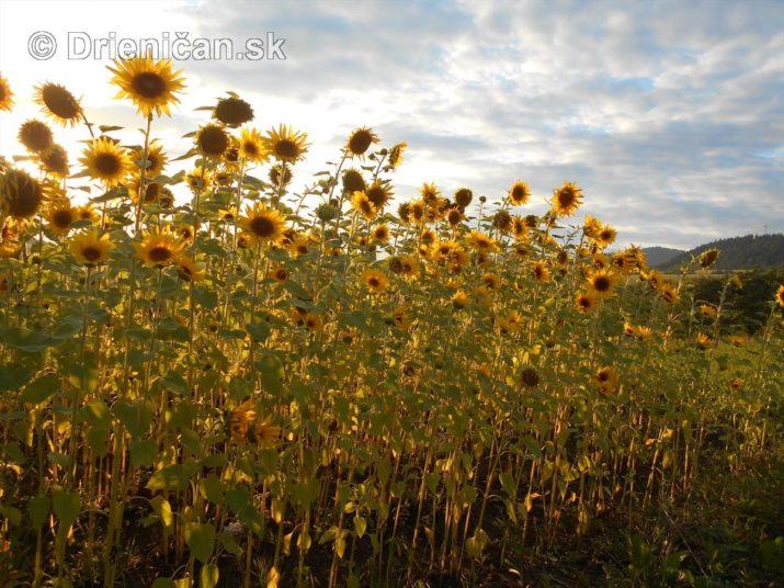 slnecnice pri zapade slnka_18