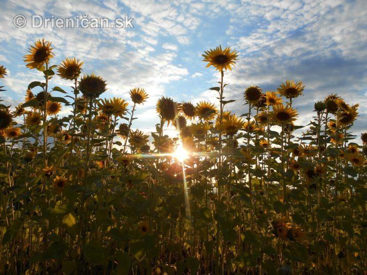 slnecnice pri zapade slnka_20
