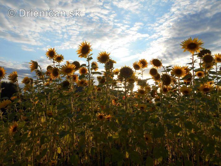 slnecnice pri zapade slnka_25