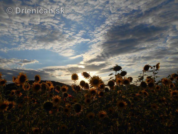 slnecnice pri zapade slnka_26