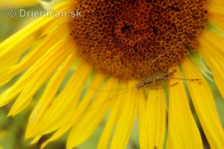 slnecnice pri zapade slnka_28