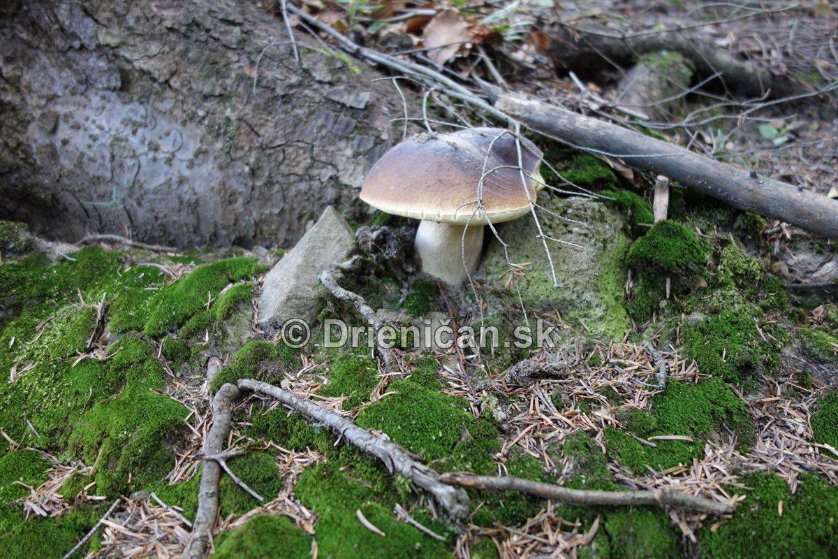 hriby-v-slovenskych-lesoch_19