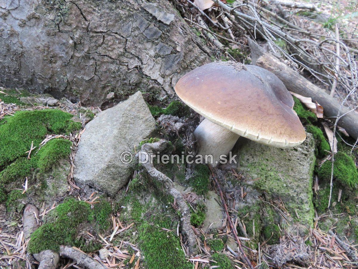 hriby-v-slovenskych-lesoch_25