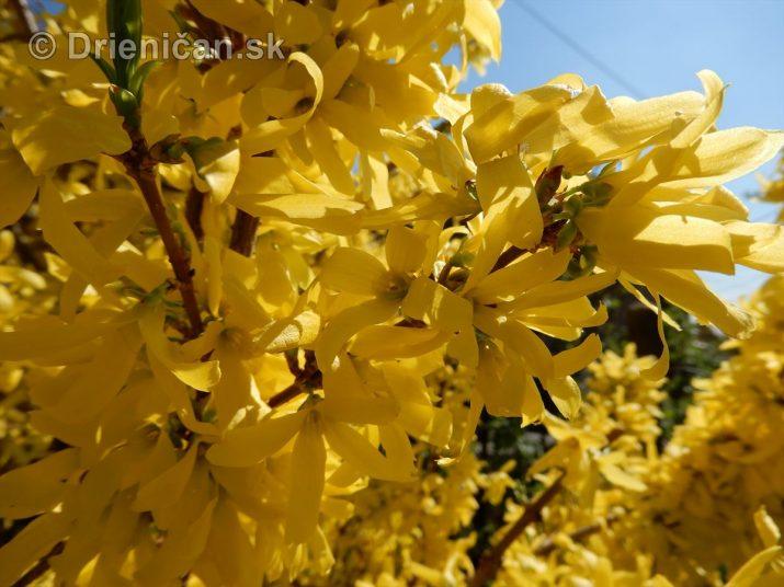 Ako kvitne zlatý dážď ?