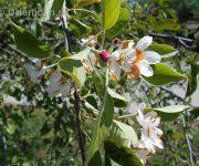 Rozkvitnutá augustová jabloň