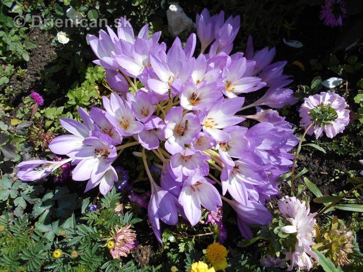Fialová kráska Jesienka obyčajná