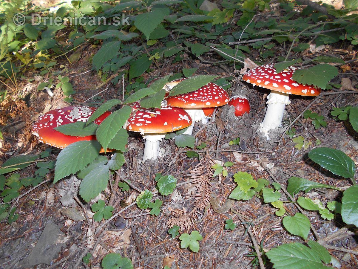 Červeno-biela kráľovná lesa-Muchotrávka červená