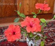 Novoročná čínska ruža :)