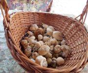 Čírovnica Májová - chutná májovka