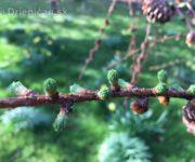 Mladé ihličie Smrekovca opadavého sa už zelená