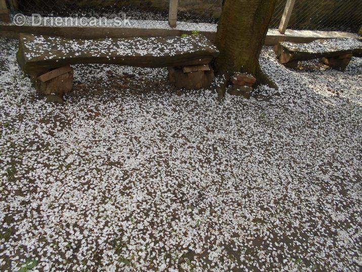 Čerešňový sneh
