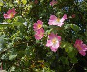 """Krásne voňajúce divé ruže """"sverbohusky"""""""