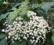 Baza čierna kvitne na bielo :)