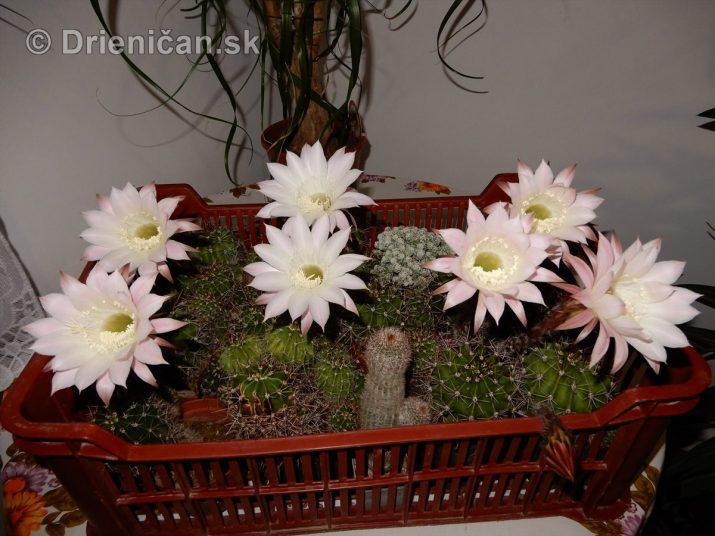 Kaktus kvitnúci v noci - Echinopsis oxygona