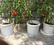 Tri vedrá plné paradajok