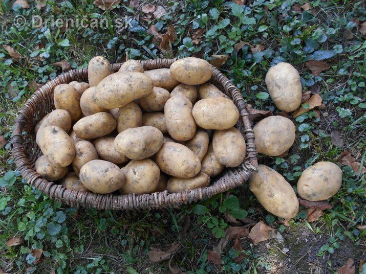 Kopanie zemiakov