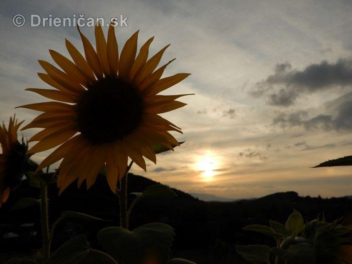 Ako kvitne slnečnica ročná