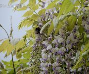 Vistéria kvetnatá